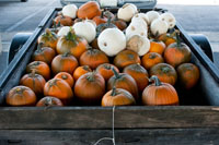 Trailer loads of Pumpkins to be had